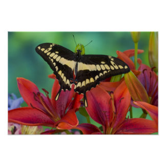 Sammamish, Washington Tropical Butterfly 37 Poster
