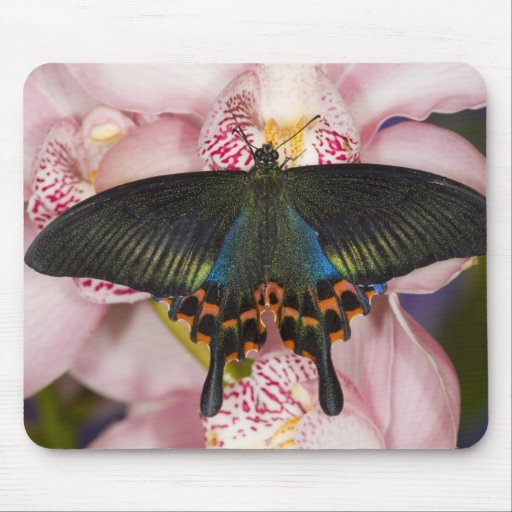 Sammamish, Washington Tropical Butterfly 41 Mouse Pad