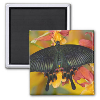 Sammamish, Washington Tropical Butterfly 42 Square Magnet