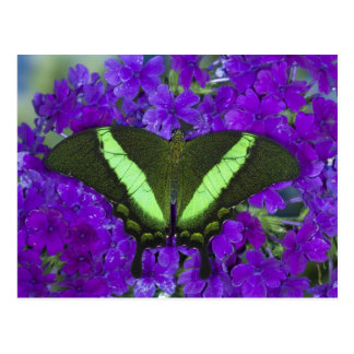 Sammamish, Washington Tropical Butterfly 4 Postcard
