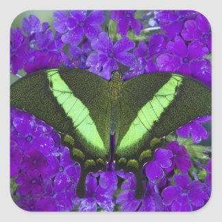 Sammamish, Washington Tropical Butterfly 4 Square Sticker