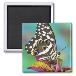 Sammamish, Washington Tropical Butterfly 5 Square Magnet
