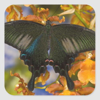 Sammamish, Washington Tropical Butterfly 5 Square Sticker