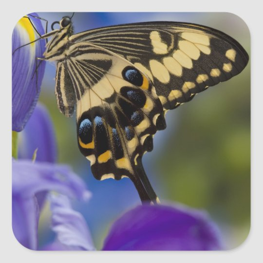 Sammamish, Washington Tropical Butterfly 6 Square Sticker