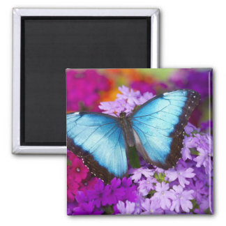 Sammamish Washington Tropical Butterfly 7 Square Magnet