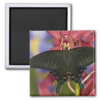 Sammamish, Washington Tropical Butterfly 7 Square Magnet