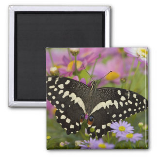 Sammamish, Washington Tropical Butterfly 8 Square Magnet