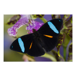 Sammamish, Washington Tropical Butterfly Poster