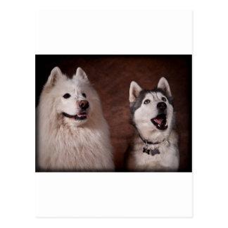 Samoyed and Husky Postcard