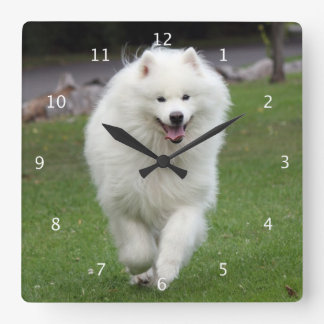 Samoyed dog beautiful photo portrait running clock