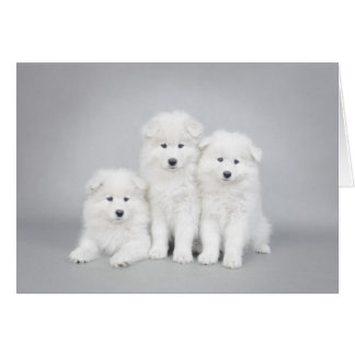 Samoyed puppies card