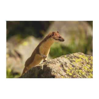 San Juan Mountains. Short-Tailed Weasel Canvas Prints
