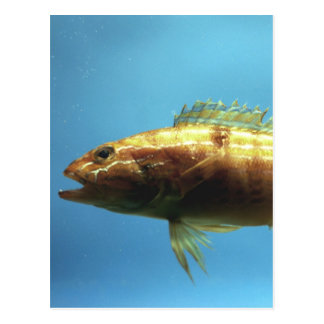 Sand Perch Fish Postcard