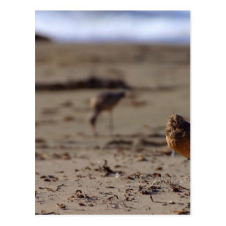 Sand Piper Bird Post Card