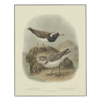 Sand Plover and Wry-Billed Plover