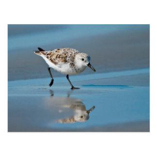 Sanderling (Calidris Albe) Feeding On Wet Beach Postcard