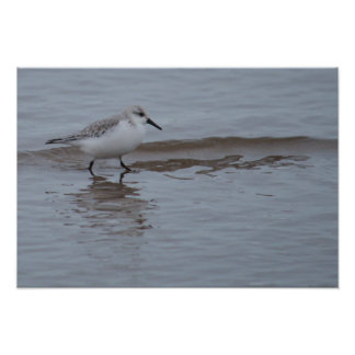 Sanderling In Sea Photo Print