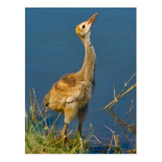 Sandhill Crane Chick  Postcard