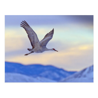 Sandhill crane flying at sunset postcard