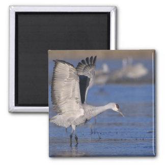 Sandhill Crane, Grus canadensis,adult Square Magnet