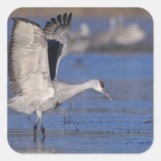 Sandhill Crane, Grus canadensis,adult Square Sticker