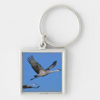 Sandhill Crane Grus canadensis) in flight. Key Ring