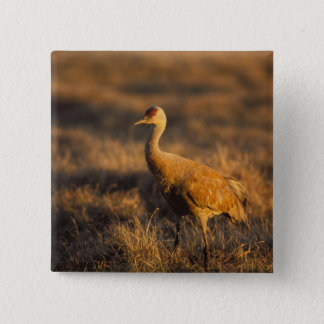 sandhill crane, Grus canadensis, in the 1002 2 15 Cm Square Badge