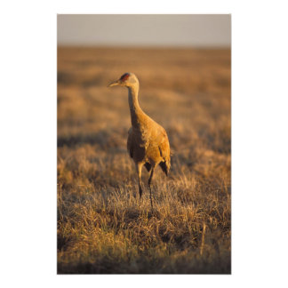 sandhill crane, Grus canadensis, in the 1002 2 Photo Print