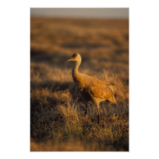 sandhill crane, Grus canadensis, in the 1002 2 Poster