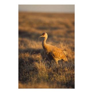 sandhill crane, Grus canadensis, in the 1002 Photo Art