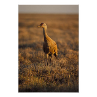 sandhill crane, Grus canadensis, in the 1002 Poster