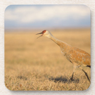 sandhill crane, Grus canadensis, walking in the Beverage Coasters