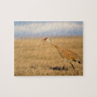 sandhill crane, Grus canadensis, walking in the Jigsaw Puzzle