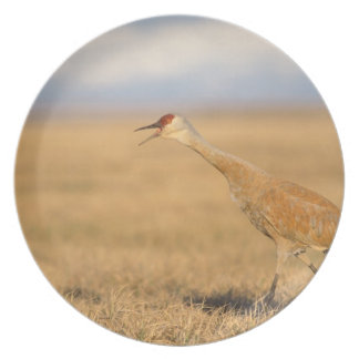 sandhill crane, Grus canadensis, walking in the Plate