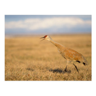 sandhill crane, Grus canadensis, walking in the Postcard