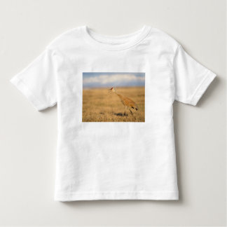sandhill crane, Grus canadensis, walking in the Shirt