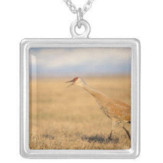 sandhill crane, Grus canadensis, walking in the Silver Plated Necklace