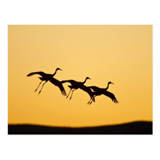 Sandhill Crane landing at sunset Postcard