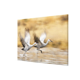 Sandhill Cranes Grus canadensis) adults in a Canvas Print
