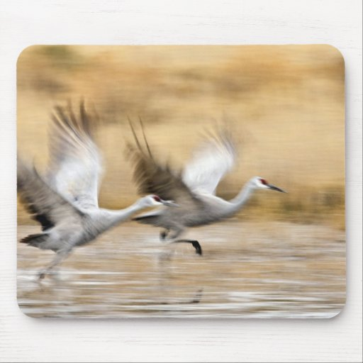 Sandhill Cranes Grus canadensis) adults in a Mousepad