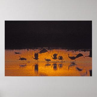Sandhill Cranes Grus canadensis) Bosque Del 2 Poster