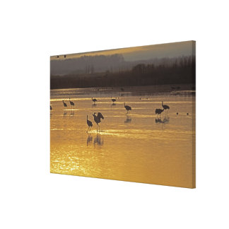 Sandhill Cranes Grus canadensis) Bosque Del Stretched Canvas Prints