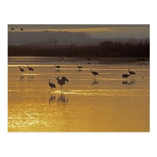 Sandhill Cranes Grus canadensis Bosque Del Postcard