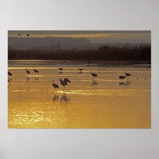 Sandhill Cranes Grus canadensis) Bosque Del Poster