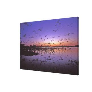 Sandhill Cranes Grus canadensis) Platte 2 Canvas Print