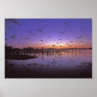 Sandhill Cranes Grus canadensis) Platte 2 Poster