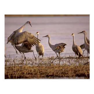 Sandhill Cranes Grus canadensis) Platte Postcard