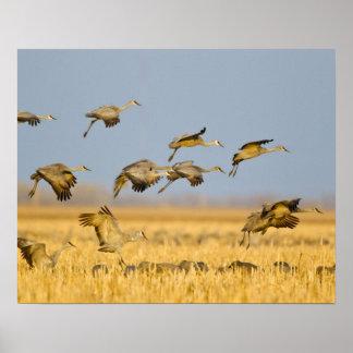 Sandhill cranes land in corn fields poster