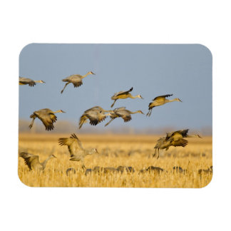 Sandhill cranes land in corn fields rectangular photo magnet