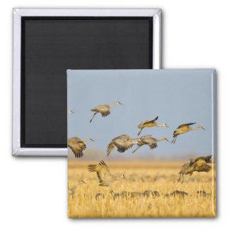 Sandhill cranes land in corn fields square magnet